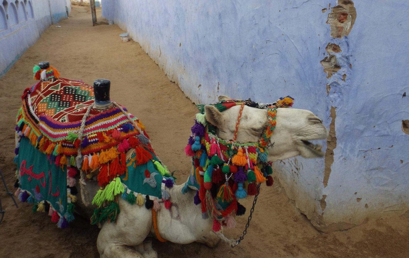 Post Egipto es seguro. Camello- Pasaporte y Millas